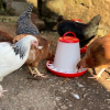 Feeding time is a favourite for all the animals, including the hens