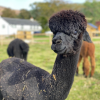Wallace is a friendly little alpaca