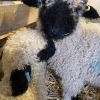 Just arrived, our Valais Blacknose lambs give each other a cuddle